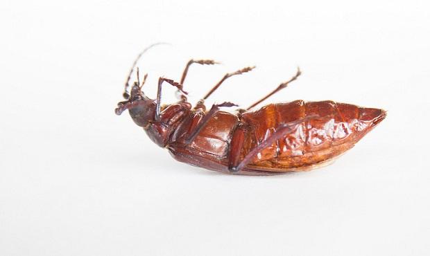 ¿Por qué las cucarachas suelen morir boca arriba?