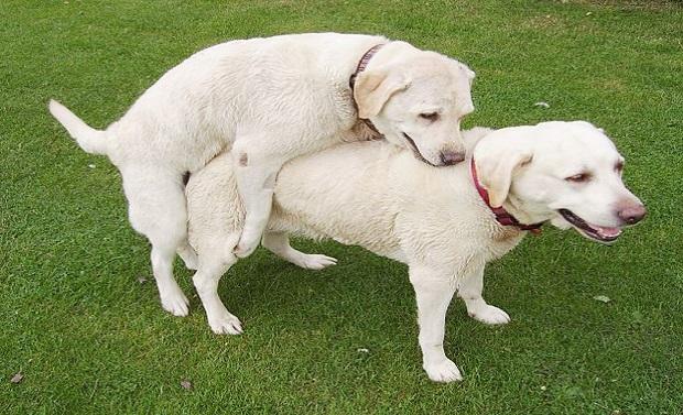 ¿Por qué los perros quedan atrapados mientras se aparean?