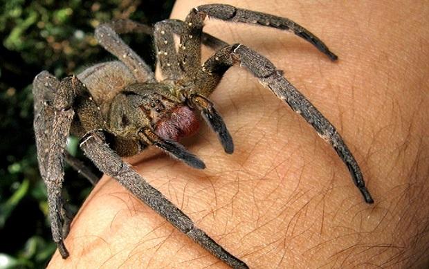 La araña cuya picadura puede provocar una larga y dolorosa erección