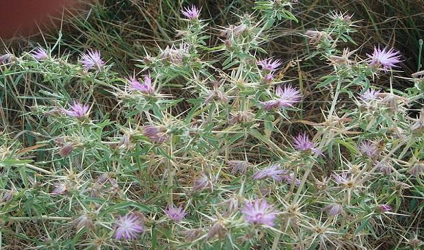 ¿De dónde surge llamar 'abrojos' a ciertas plantas herbáceas como los cardos?