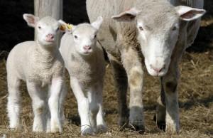 Foto de ovejas. (GTRES)