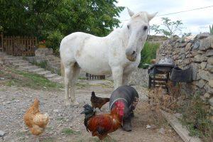 Guindilla, el caballo herido por la valla de alambre de espino (María Sánchez).