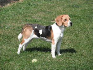 Un perro beagle (Wikipedia).