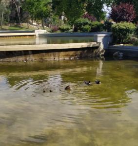 Patos en el Parque Azorín (R. G.).