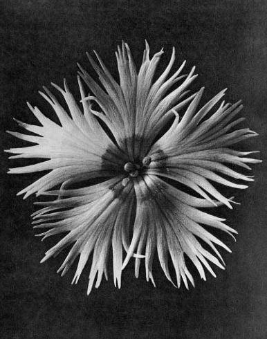 Karl Blossfeldt - Dianthus plumarius