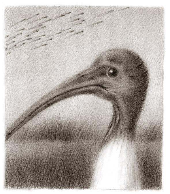 ibis - renee french