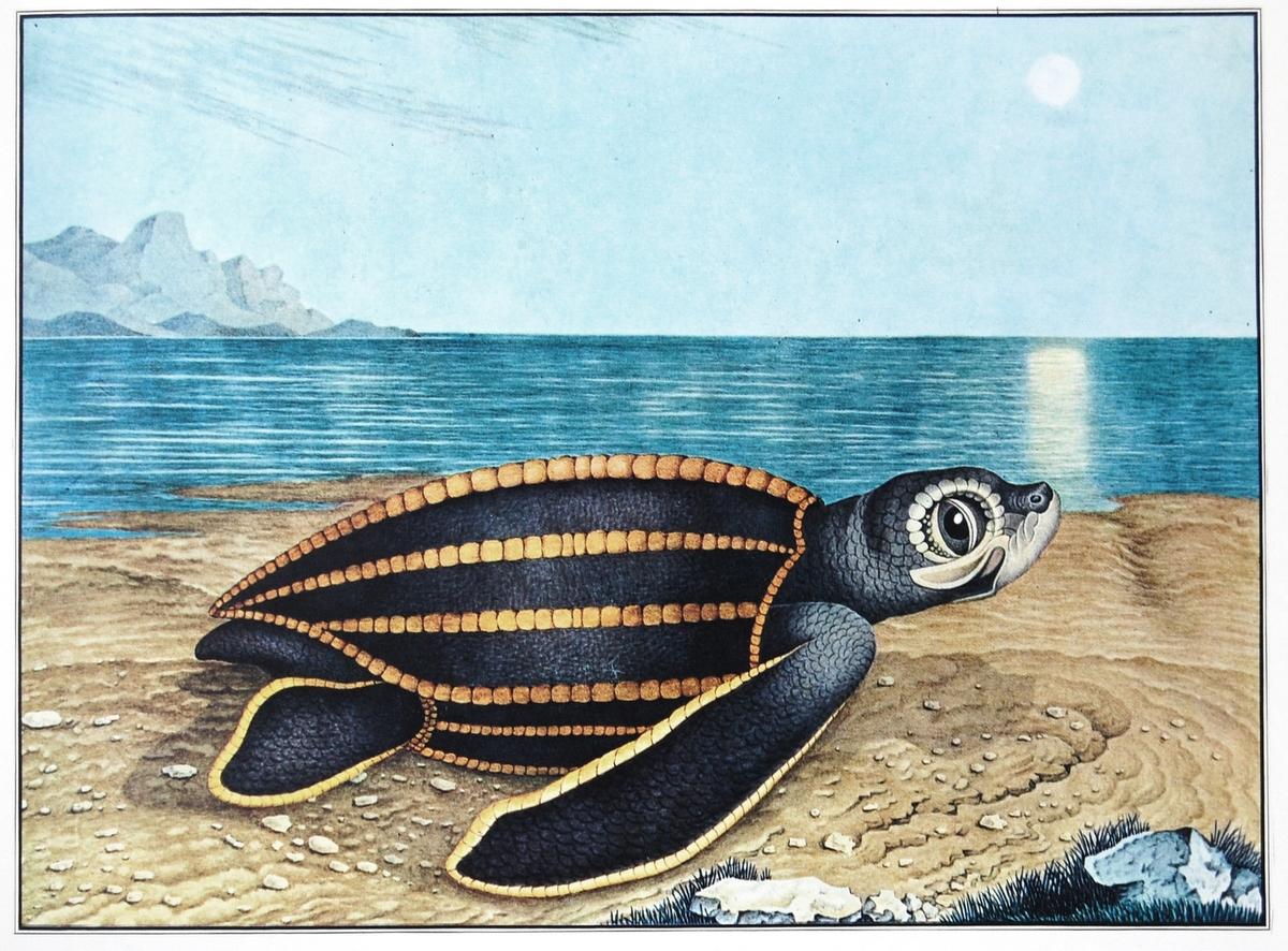'Die Seeschildkröte' - Aloys Zötl