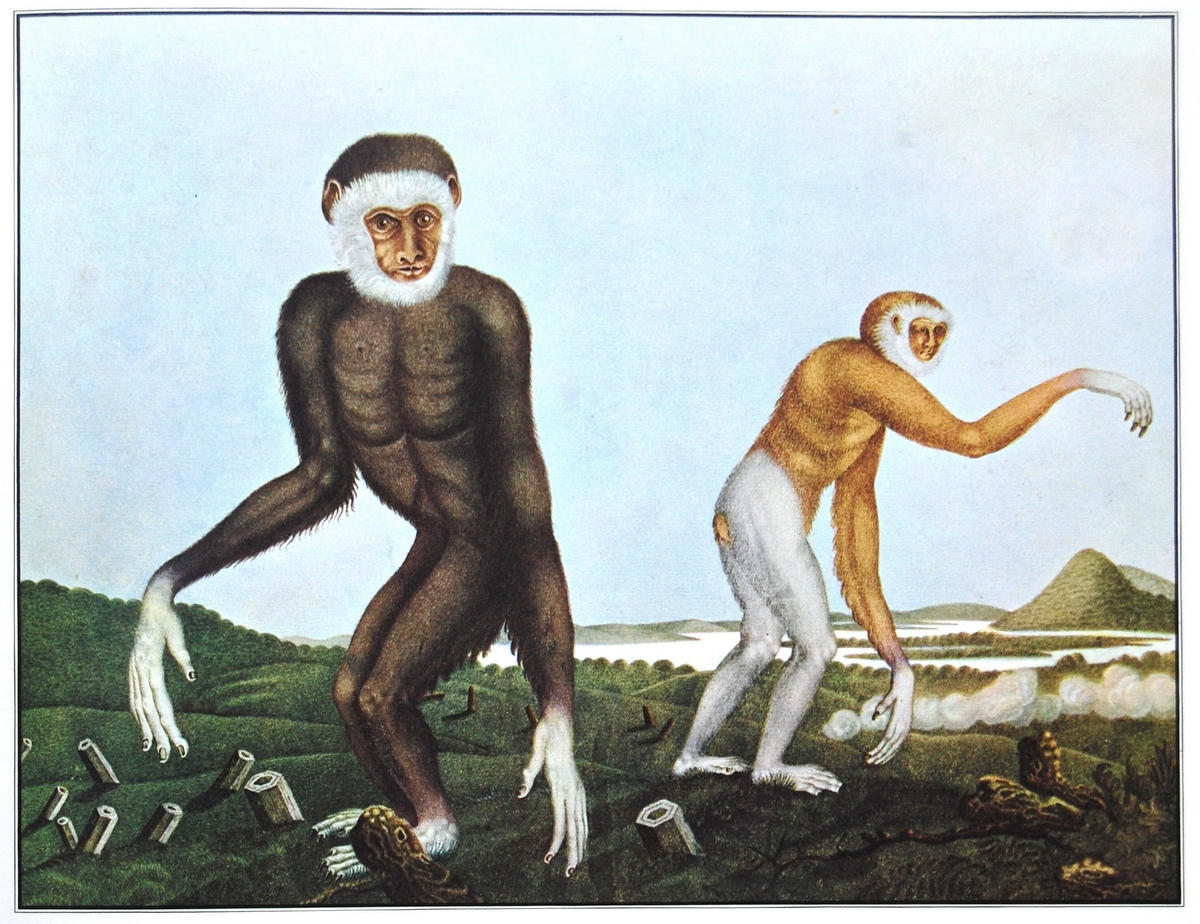 'Der Gibbon' - Aloys Zötl