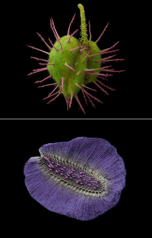 'Hippocrepis unisiliquosa' y 'nemesia versicolor' - Rob Kesseler