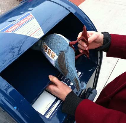 Una de las palomas de 'Pigeon Post' a punto de iniciar su viaje
