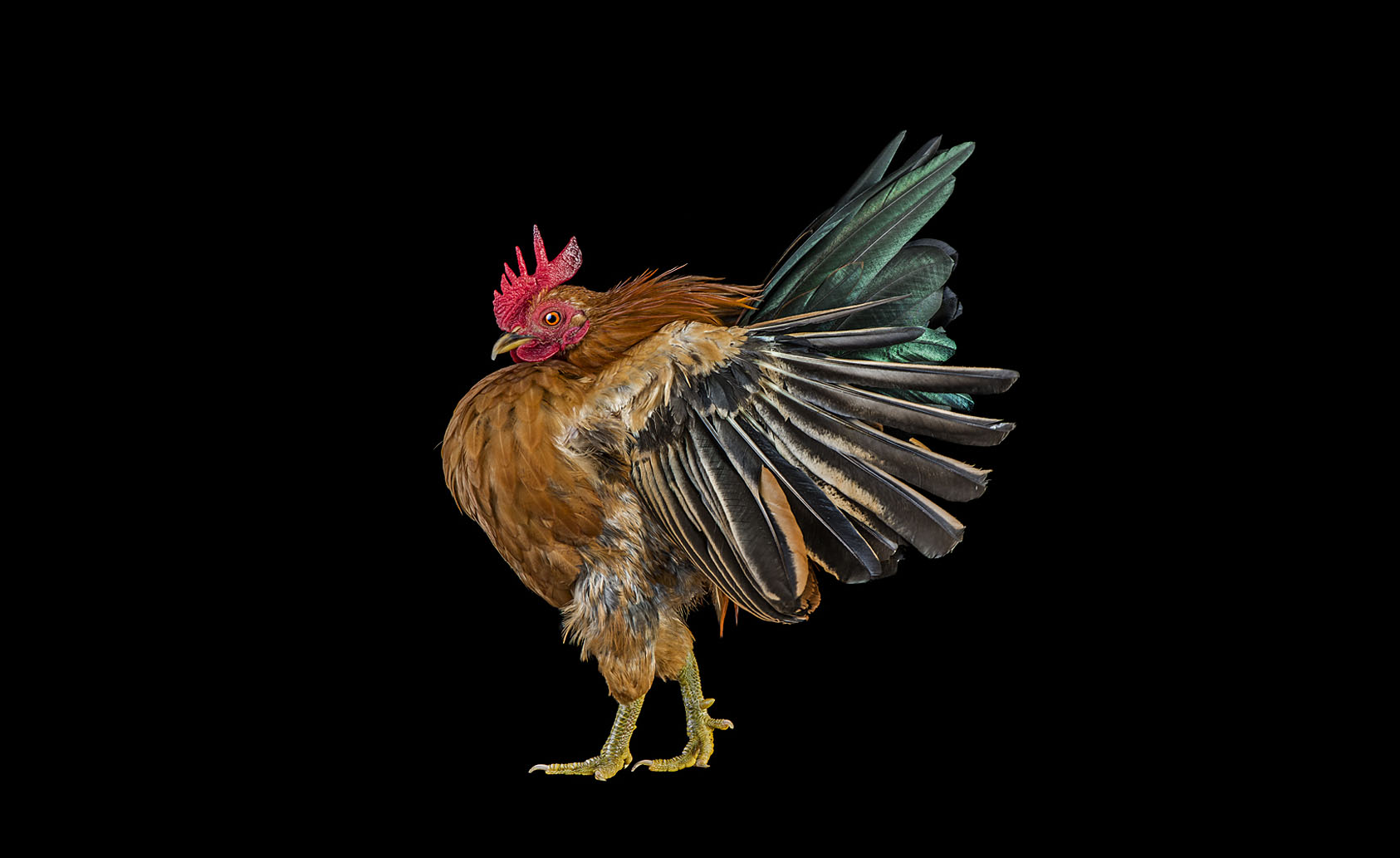'Cocks' - Ernest Goh