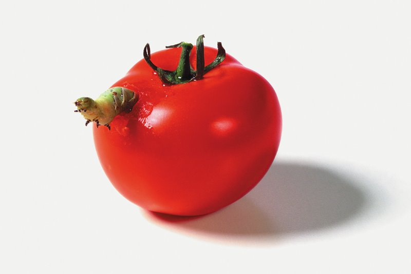 'Caterpillar Eating a Tomato' - Catherine Chalmers