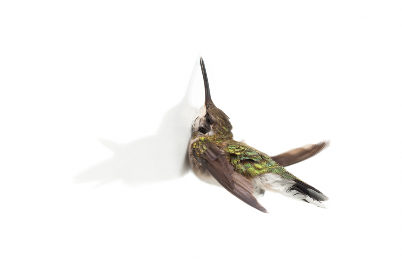 'Impact (Ruby-throated Hummingbird)' - Miranda Brandon