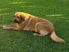 Un perro en el césped. (ARCHIVO)