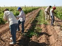 Jornaleros trabajando en unos cultivos. (ARCHIVO)