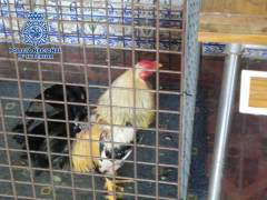 Pelea ilegal de gallos. (Policía Nacional)