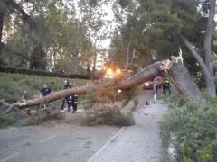 Árbol caído junto al Templo de Debod de Madrid. (ÁNGEL CALLEJA)