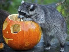 Un mapache se come una calabaza de Halloween en el zoo de Hannover (Alemania). (OLE SPATA/ EFE)