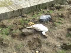 Imagen en la que se muestra un pato muerto en el parque sevillano María Luisa. (ALBERTO)