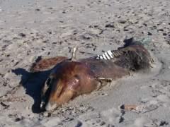El cadaver de un delfín varado en las proximidades del Saler (Valencia) (A. ABELLANAS)