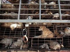 Varias pilas de perros enjaulados en un camión en Kunming, al suroeste de China.  (GTRES)