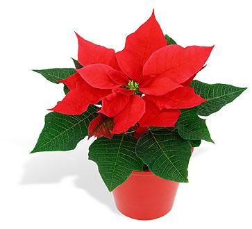 Cu l es el origen de la flor de pascua ya est el - Que cuidados necesita la flor de pascua ...