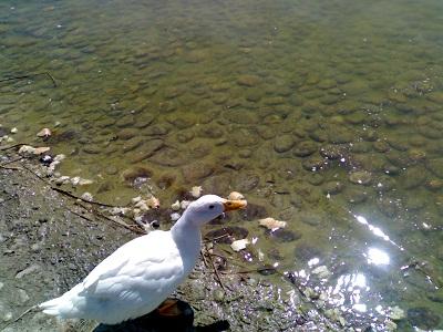 El inconveniente de echar de comer pan a los patos de los for Estanques para patos prefabricados