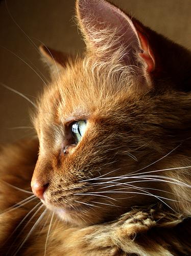 ¿Por qué los gatos tienen las orejas direccionales?
