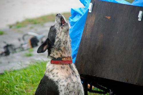 ¿Por qué los perros aúllan?