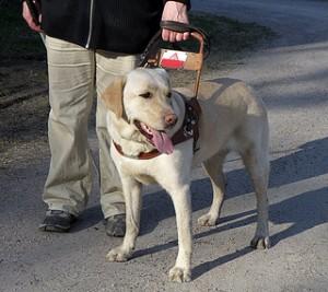 ¿Cuál es el origen de los perros lazarillo?
