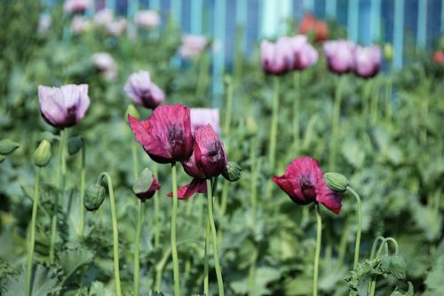 La leyenda urbana sobre las amapolas y el opio