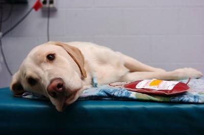 ¿Sabías que las mascotas también tienen un 'Banco de sangre'?