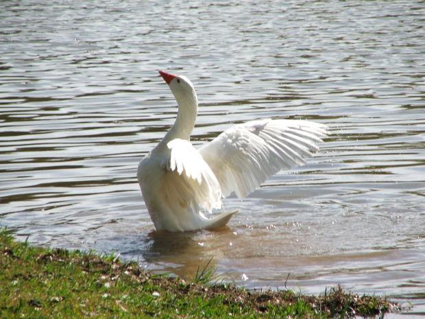 ¿Por qué algunas aves tras haberse mojado sus plumas pueden seguir volando?