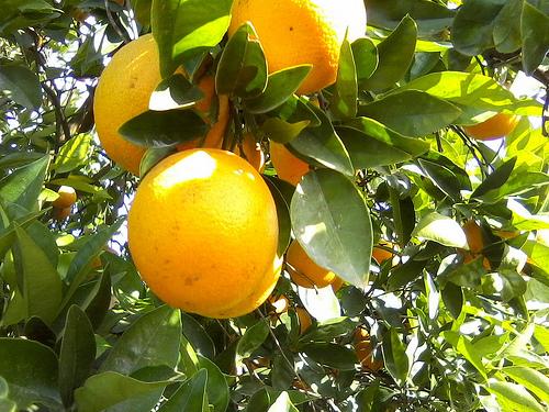 ¿Por qué la Guerra de las Naranjas se llamó así?