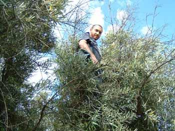 ¿Cuál es el origen de la expresión 'tomar el olivo'?