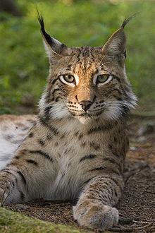 ¿Sabías que la expresión 'Tener vista de lince' no proviene del felino sino de un personaje mitológico?