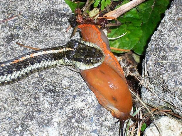 ¿Cómo logra una serpiente engullir un animal más grande que ella?